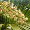 Fleur de croton (3) - Photo : Edgar