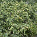 Genevrier-Cade--Juniperus-Oxycedrus-Tuchan Mai 2014