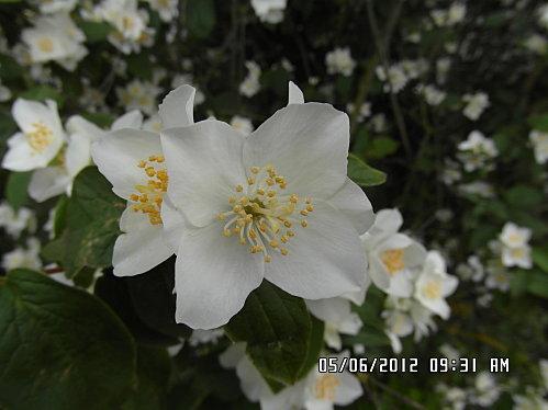 fleurs-5-Juin-008.JPG