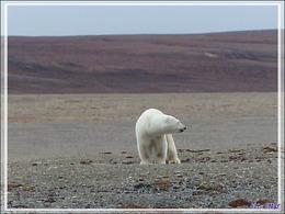 Dernière série avec cet ours on ne peut plus photogénique ! (Polar bear) - Creswell Bay - Somerset Island - Nunavut - Canada