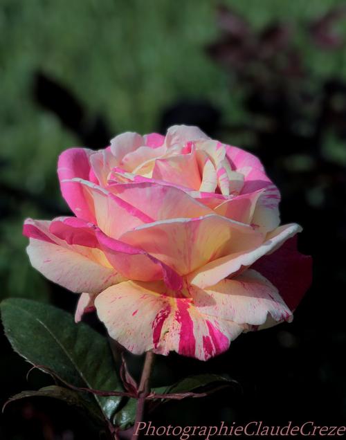 La rose du printemps