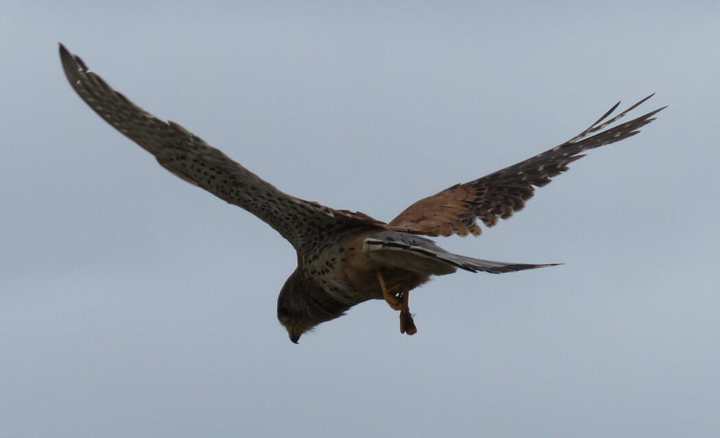 un vautour ?