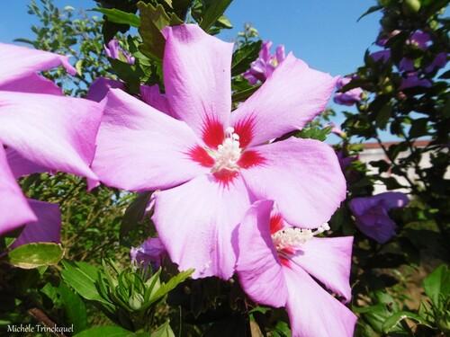 Des fleurs dans mon village, le 4 juillet (suite)....