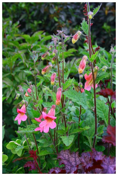 "Les ""roses"" du jardin"