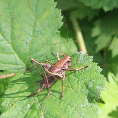 Pholidoptera Griseoaptera ou Pholidoptera Cinereus ou Decticelle Cendrée ou Sauterelle Grise