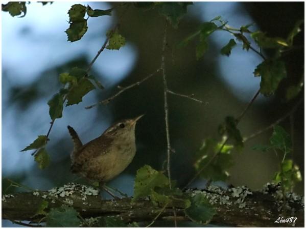 Oiseaux-3-2411-troglodyte-mignon.jpg