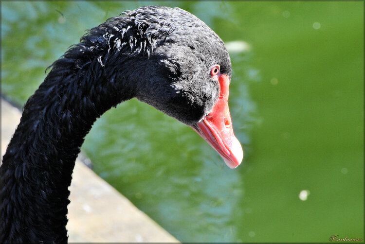 Photo de tête de cygne noir (zoo de Pessac)