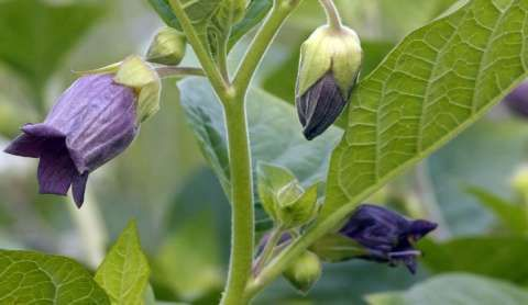 http://www.floristtaxonomy.com/category/atropa-belladonna Source: floristtaxonomy.com