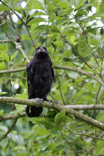 Corbeau freux juvénile