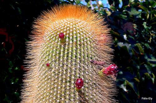 Un cactus prêt à fleurir