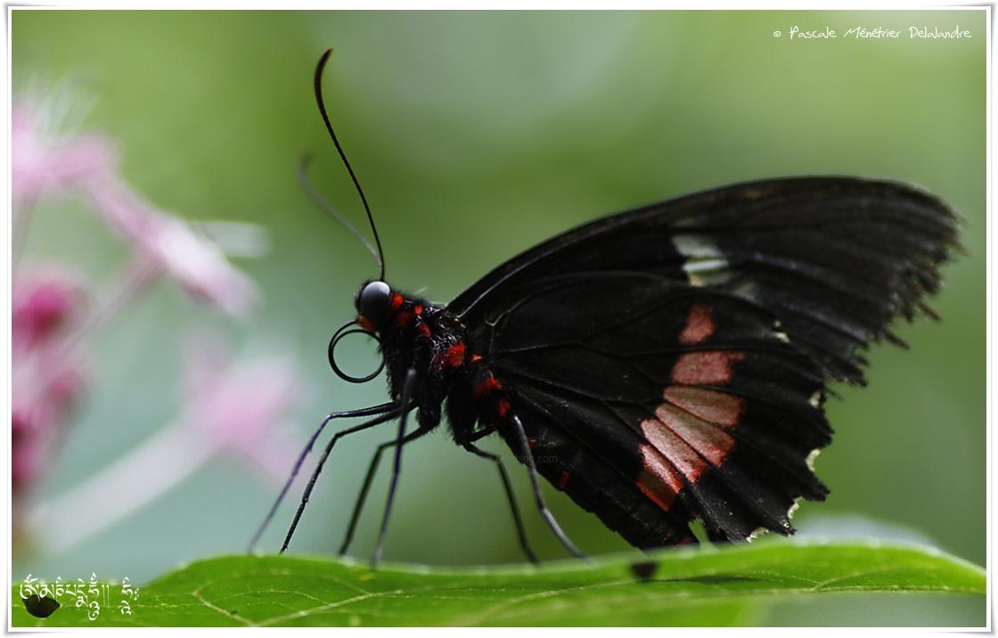 Voilier Iphidamas - Parides iphidamas - Papilionidae