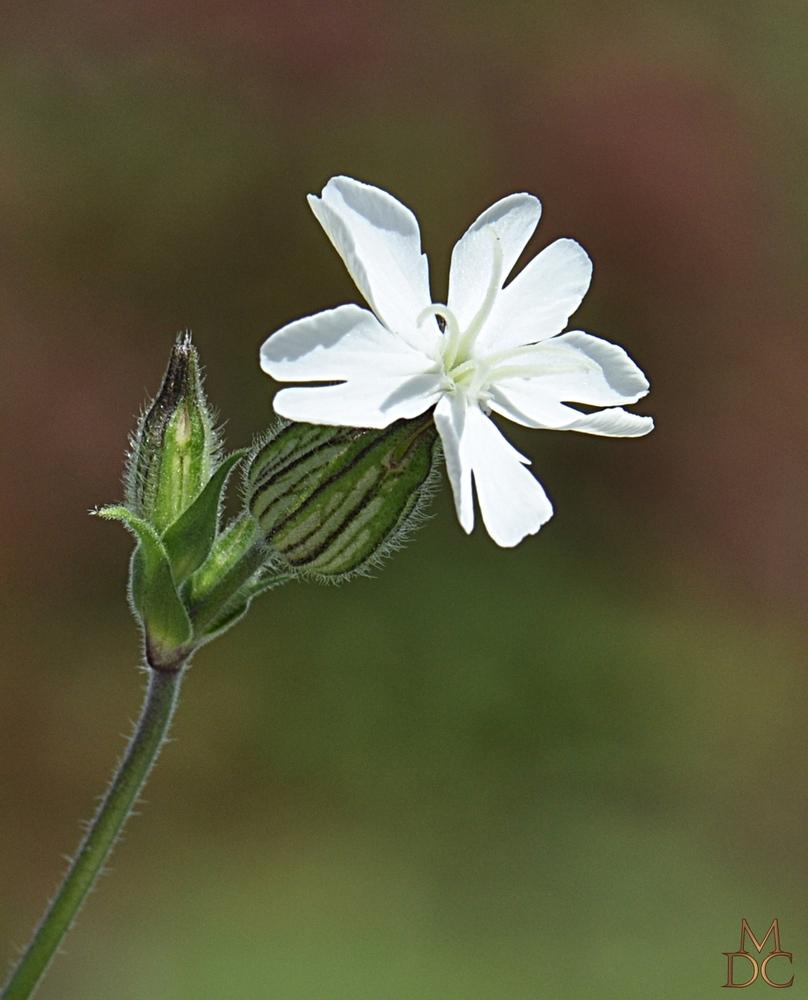 Compagnon blanc (plante femelle)