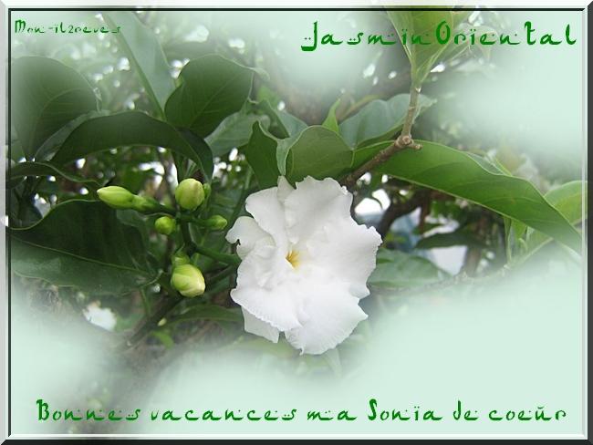 Jasmin Oriental