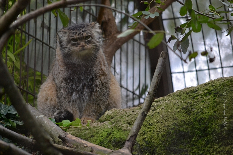 Ménagerie du jardin des Plantes : Le chat de PALLAS