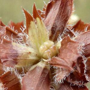 Prunella laciniata  -  brunelle laciniée