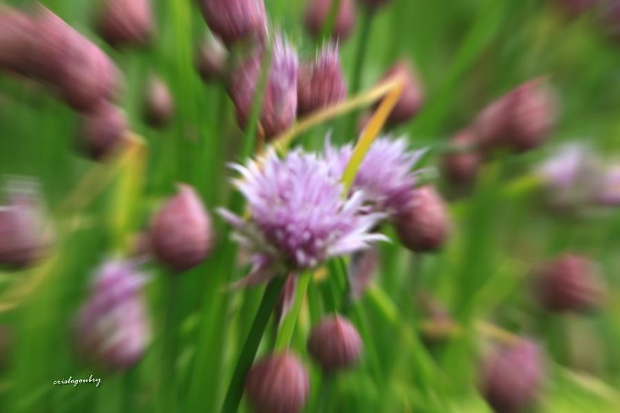 fleurs de ciboulette..