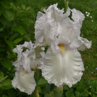 Iris...de 'Raspberry Silk' à 'Laced Cotton'...