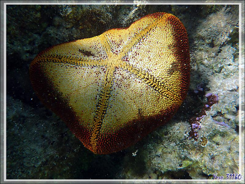 Etoile-coussin du Pacifique ou astérie-coussin, Cushion-star, pincushionsea star (Culcita noveaguineae) - Moorea - Polynésie française