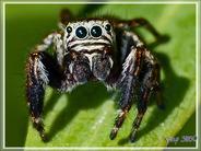 Araignée saltique (sauteuse) Evarcha arcuata mâle - Lartigau - Milhas - 31