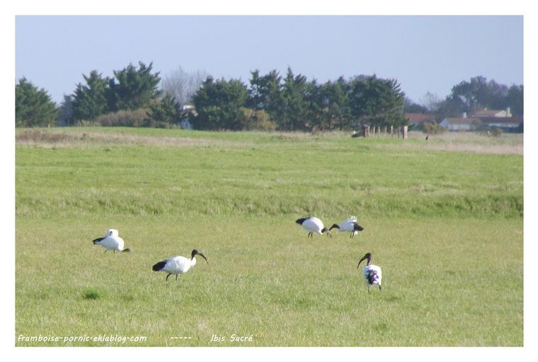 Ibis sacré ou Ibis du Nil