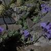 Linaire des Alpes (Linaria alpina)