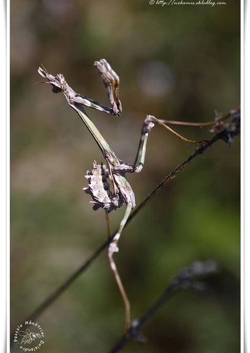 "Empusa pennata - Empuse commune (appelé ""diablotin"")"