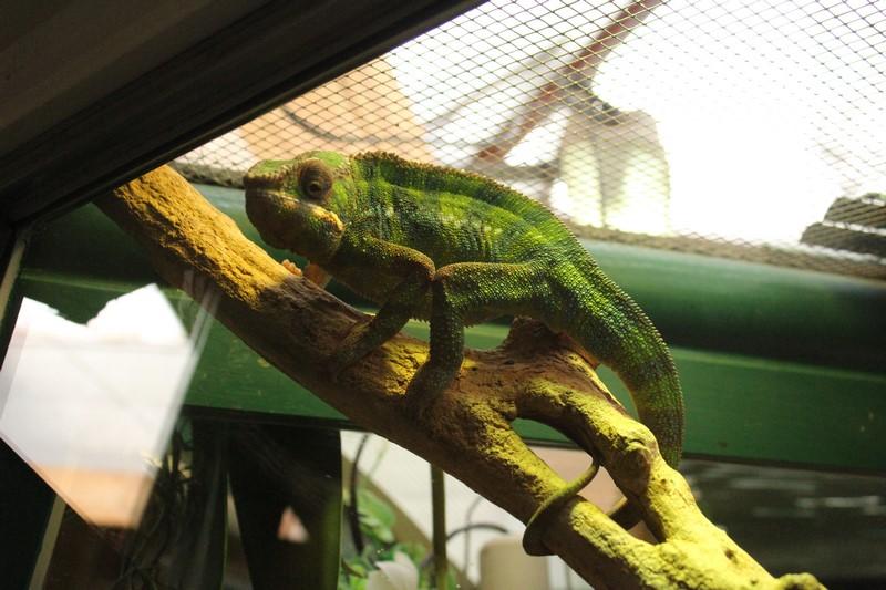 Iguanes,caméléons...