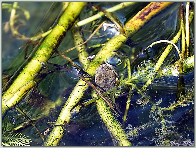 Un petit museau dépasse de l'eau et ... rate sa proie : c'est un triton - Lartigau - Milhas - 31