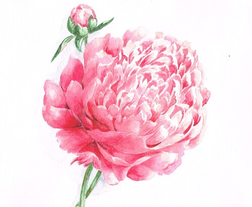 Aquarelle : pivoine rose