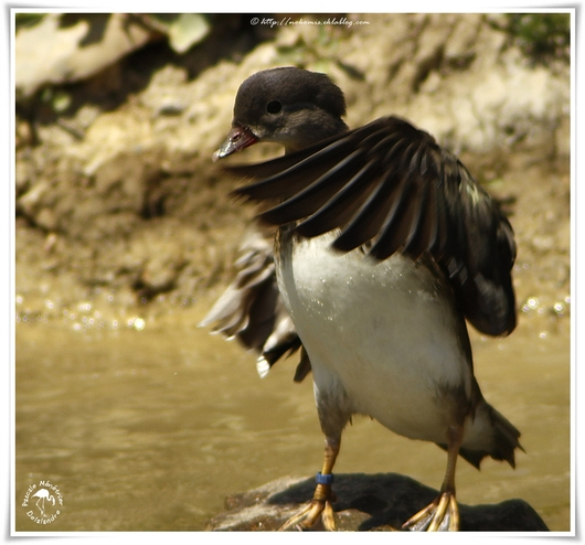 Canard carolin ♀ - Aix sponsa - Wood Duck