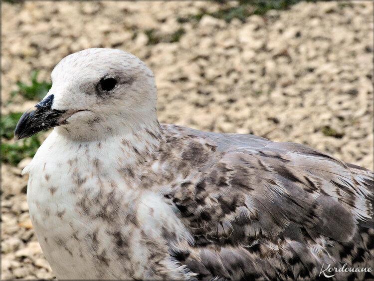 Photo Goéland argenté juvénile - le Marais aux oiseaux