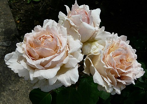 Rose-Andre-le-Notre--18-6-10--P946.JPG