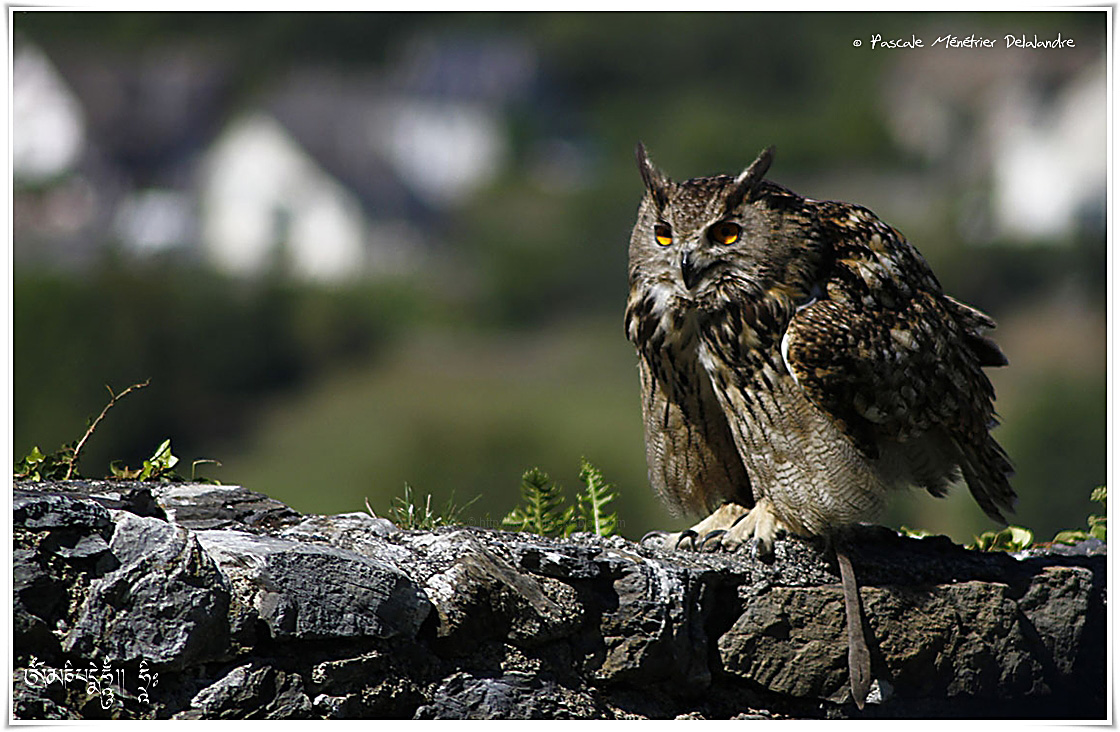 Grand-duc d'Europe - Bubo bubo - Eurasian Eagle-Owl