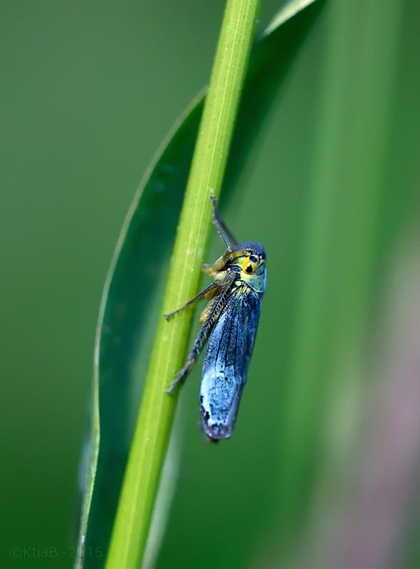 Cicadelle Verte ♂