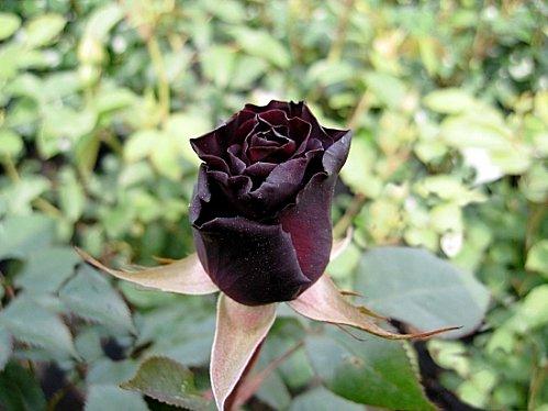 roses-france-1298305744-1130317