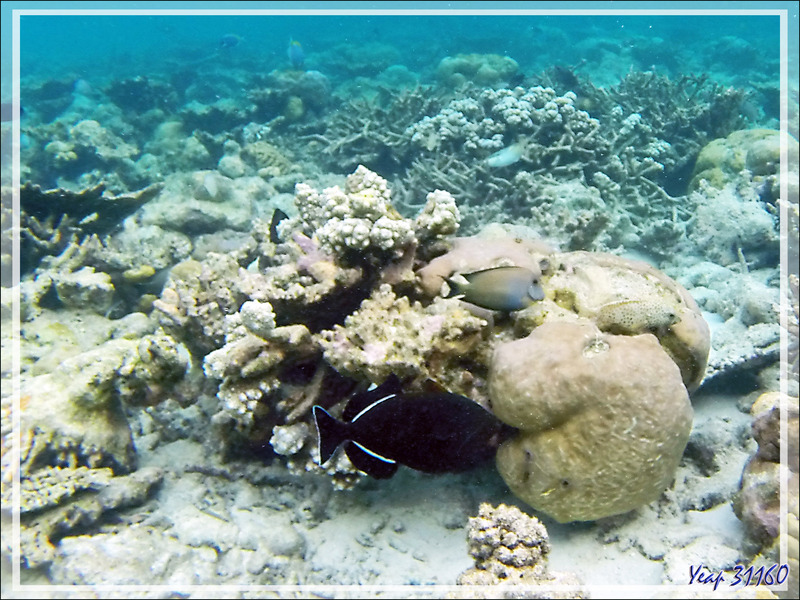 Snorkeling : Baliste à nageoires noires, Indian triggerfish (Melichthys indicus) - Moofushi - Atoll d'Ari - Maldives