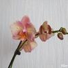 phalaenopsis_bord_dentelé01