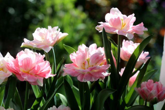 Tulipes en jardinière : Peach Blossom