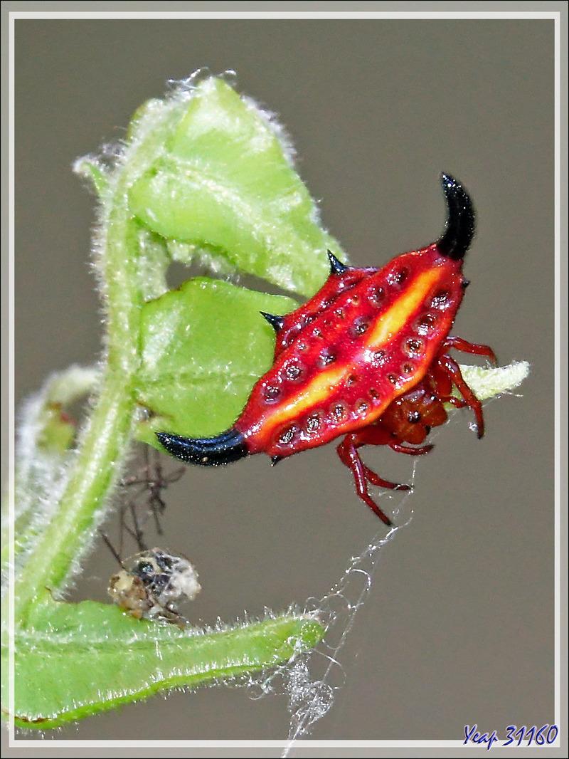 Araignée étoile épineuse rouge/orangé et jaune, Red/orange and yellow horned star spider (Gasteracantha thorelli) - Nosy Sakatia - Madagascar