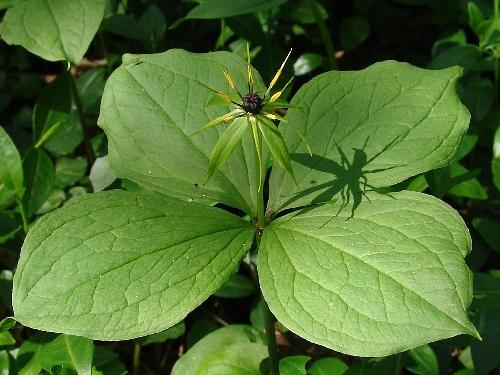 Parisette à quatre feuilles.