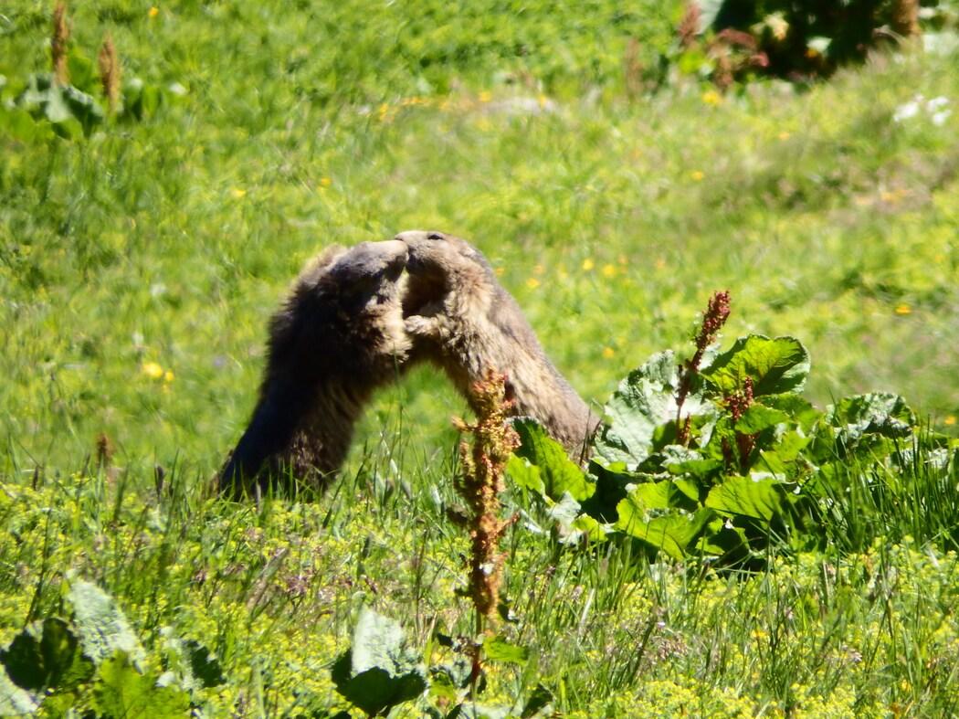 Parade nuptiale chez les marmottes
