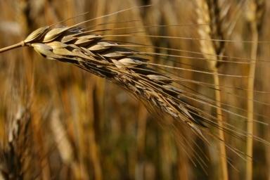 Emeute de femmes en 1771 à Rambervillers contre le prix excessif du blé