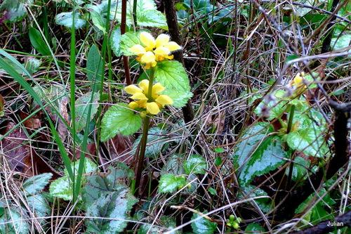 Une plante aux fleurs jaunes !