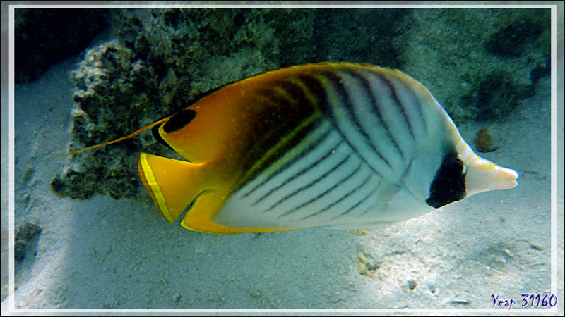 Poisson-papillon cocher ou Chaetodon cocher, Threadfin butterflyfish (Chaetodon auriga) - Moorea - Polynésie française