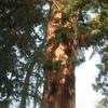 Le sequoia dans son entier
