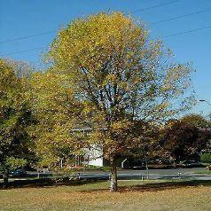 Frêne blanc Fraxinus americana