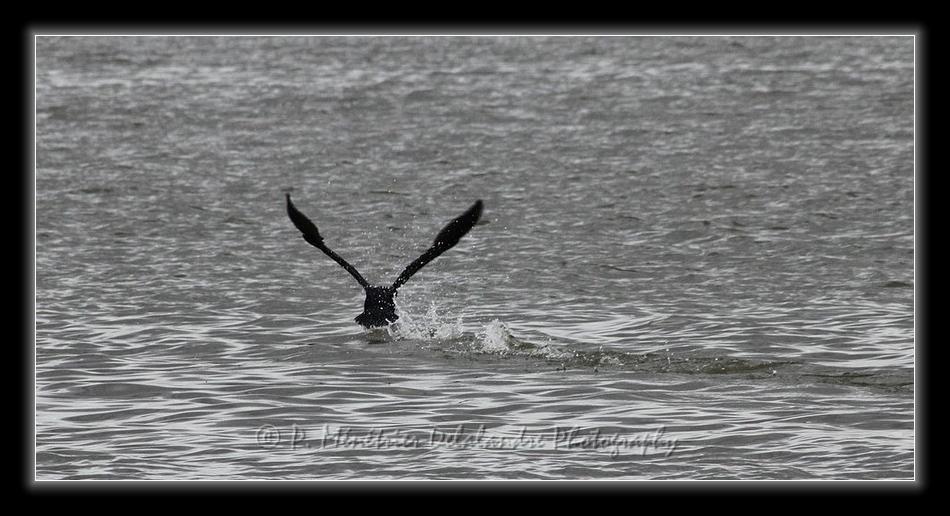Amerissage d'un grand Cormoran...