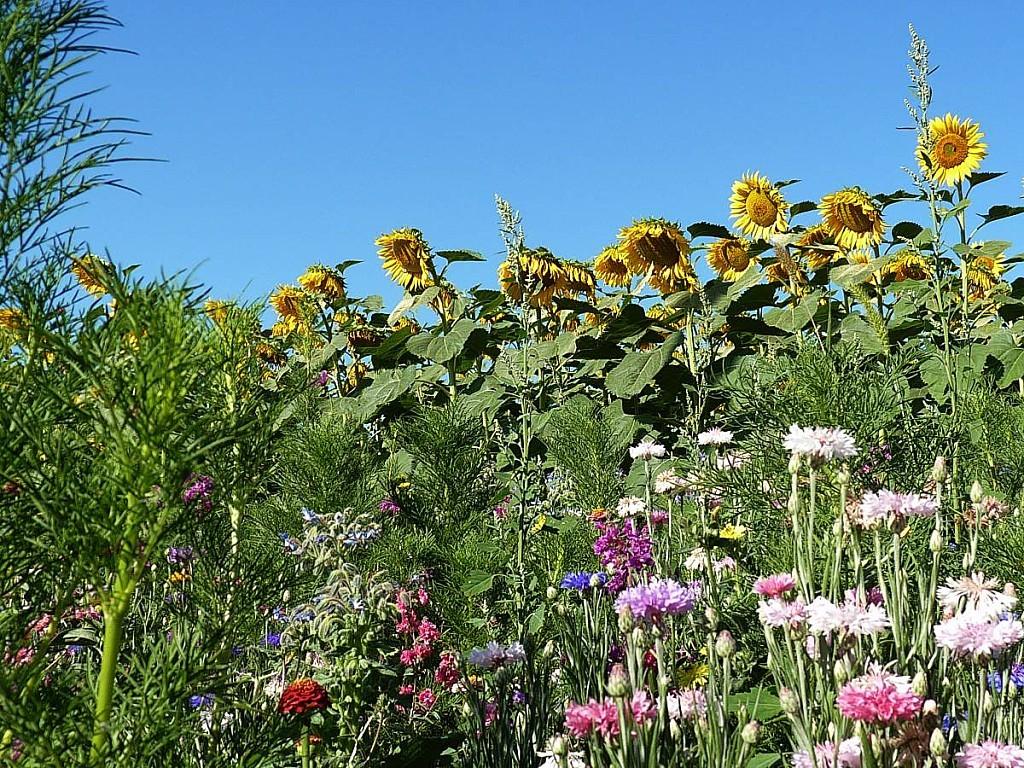 Tournesols-pature-fleurie.jpg