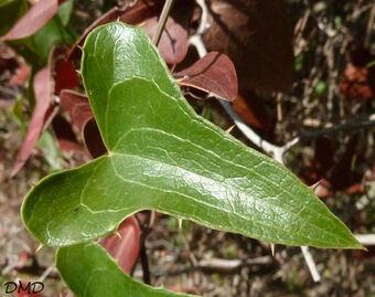 Smilax aspera -  salsepareille d'Europe