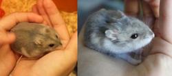 hamster russe jeune vieux